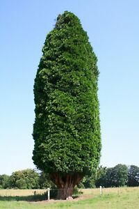 Calocedrus (Libocedrus) decurrens - Rare Conifer Plant in 9cm Pot