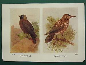VINTAGE BIRD PRINT ~ JACKDAW ~ NUTCRACKER