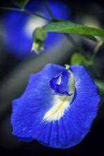 eine echt wunderschöne Blume - die seltene blaue Schamblume !