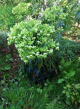 Helleborus argutifolius (Corsican Hellebore) x 20 seeds