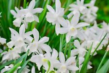 "25 Narcissus Daffodils Bulbs ""Thalia"" Narcissi Spring Flowering Bulbs"