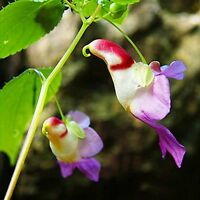 20pcs Papagei Pflanze Samen Hingucker Blume (Impatiens psittacina) NEUE E3P3