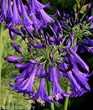 3 New Agapanthus i. Polar Star Dark Mauve-purple flowers, garden plant