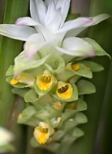 Turmeric Curcuma Longa Organic 1 Rhizome live plant flower medicinal spice food