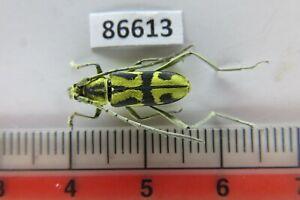 86613****Cerambycidae sp. Vietnam Central*****