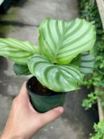 "Calathea Orbifolia - 4"" Pot"