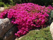 "MESEMBRYANTHEMUM ""Lampranthus "" 3 x cuttings"