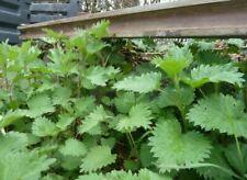 5 gr d'ortie bio pour semer et faire le plein de mineraux vitamines C FER ETC