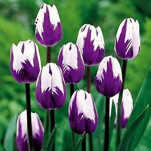 10 Purple and White Tulip Bulbs - Stunning Multi Colored Tulips