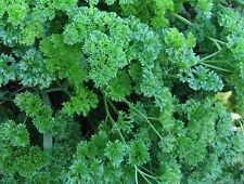 Parsley Seeds- Moss Green Curled- 1,000+ 2017 Seeds     $1.69 Max Shipping/order