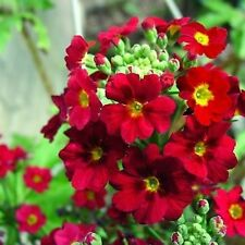 Fairy Primrose Crimson Flower Seeds (Primula Malacoides) 50+Seeds