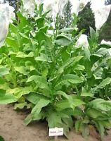 1000 Havaña Z299 Tobacco Seeds ~ Heirloom Non-GMO Nicotiana Tabacum Fast Growing