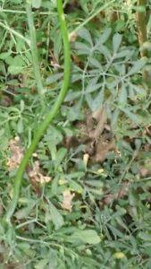 60 Semillas de Ruda, Armaga  (Ruta graveolens) seeds, llavors