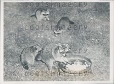 1940 Camera Captures Raccoon Night Prowlers East Cleveland Ohio Press Photo