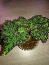 Begonia  Zimmerpflanze Lospe-Tu