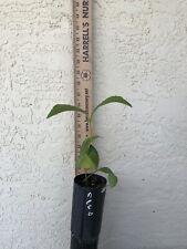 Zamia nesophila - rare Cycad- Grower Direct Jl