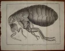 Stampa antica pulce al micrscopio Diderot D'Alambert 1780 flea old print gravure