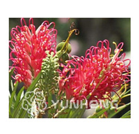 50 seeds Rare Grevillea Flower Native Australian Red Garden Home Bonsai Flower