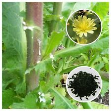 Opium Lettuce (Lactuca virosa) 100+ Seeds *Free International Shipping*