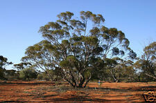 White Mallee Seeds Frost, Drought, Salt, Fire Resistant Evergreen