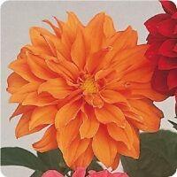 Dahlia - Figaro Orange Shades - 25 Seeds