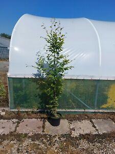 Caprinus Betulus | Hornbeam | Native | Ornamental Garden Tree | 10 litre | 6ft+