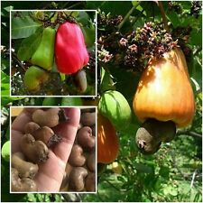 Anacardium occidentale 20 Seeds, Cashew Nut, Tropical Tree Seeds, From Thailand