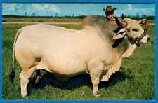 Grand Champion Brahman Bull, Emperor Manso 24th, 2135 Pounds, Florida