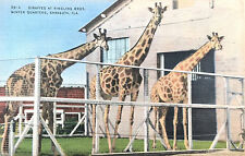 Vintage Postcard of Ringling Brothers Giraffes, wintering in Florida, E-6497