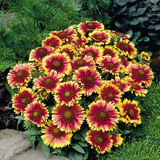 Gaillardia-Arizona Sun - 20 seeds