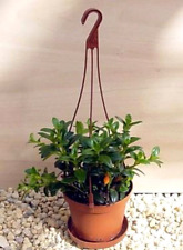 """Goldfish Live Houseplant - Easy to grow in 4"""" Hanging Basket - Blooms Constantly"""