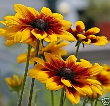 Daisy Seeds, Gloriosa Daisies, Bulk Seeds, Heirloom Wildflower, Perennial, 500ct