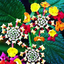 Lantana Camara Perennial Big Wild Sage Flower 10 Seeds Mix Shrubby Tickberry