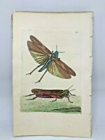 Wandering Locusts - 1783 RARE SHAW & NODDER Hand Colored Copper Engraving