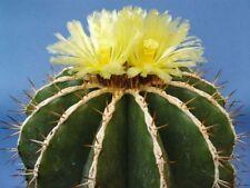 Schwarz's Barrel Cactus 5 seeds Ferocactus schwarzii Hardy to 25° F CombSH C110