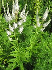 Veronicastrum virginicum - Culver's Root - 200 Fresh Seeds