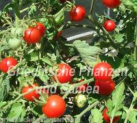 🔥 Columbian Tomate Cocktail-Tomaten Wildtomate Tomaten 10 frische Samen Balkon