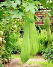 Luffa Seeds Luffa cylindrica. Sponge seeds vegetable organic from Ukraine