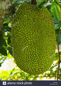 10 JACKFRUIT SEEDS Tropical Flower Fruit Tree WORLDS LARGEST FRUIT From Florida
