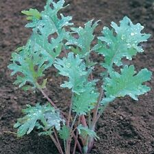 Kale Red Russian Great Heirloom Vegetable Seeds BULK 1,000 Seeds