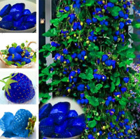 Blue Strawberry Plants Fruit Vegetable Bonsai Garden Free Shipping 500 PCS Seeds