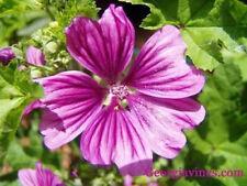Malva sylvestris Zebrina 30 seeds