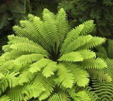 10x Todea barbarae Samen Farn Königsfarn grün B368