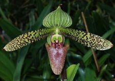 Orchid Paphiopedilum Sukhakulii x Sib