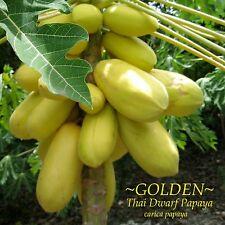 ~GOLDEN THAI~ Dwarf PAPAYA Short Tree YUMMY YELLOW FRUIT imported 25+ Fine Seeds