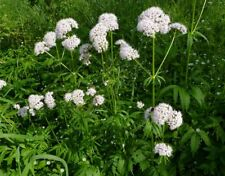 3 Valeriana officinalis plugs VALERIAN Herb Tea Medicinal Plant Bee Butterfly