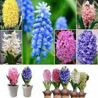 300 stk Echte Hyazinthe Samen Einfach Wachsen Mischfarbe Blumensamen Hausgarten