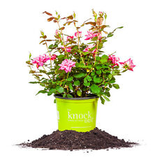 Double Pink Knock Out® Rose, Live Plant, Size: 3 Gallon