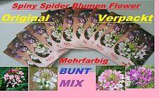 60x Spiny Spider Flower Samen Seed Blumen Pflanze selten Blumensamen Garten #231