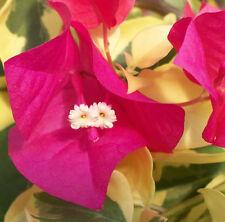 VERA VARIEGATA Bougainvillea spectabilis climbing flowering plant in 140mm pot